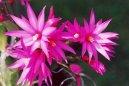 Velikonoční kaktus